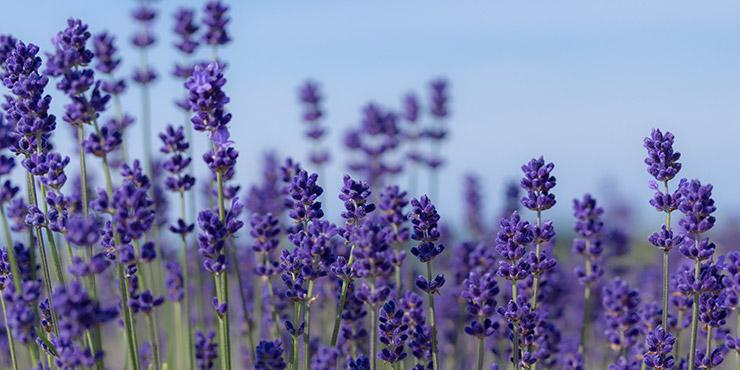 Diary lavenderfarm2017